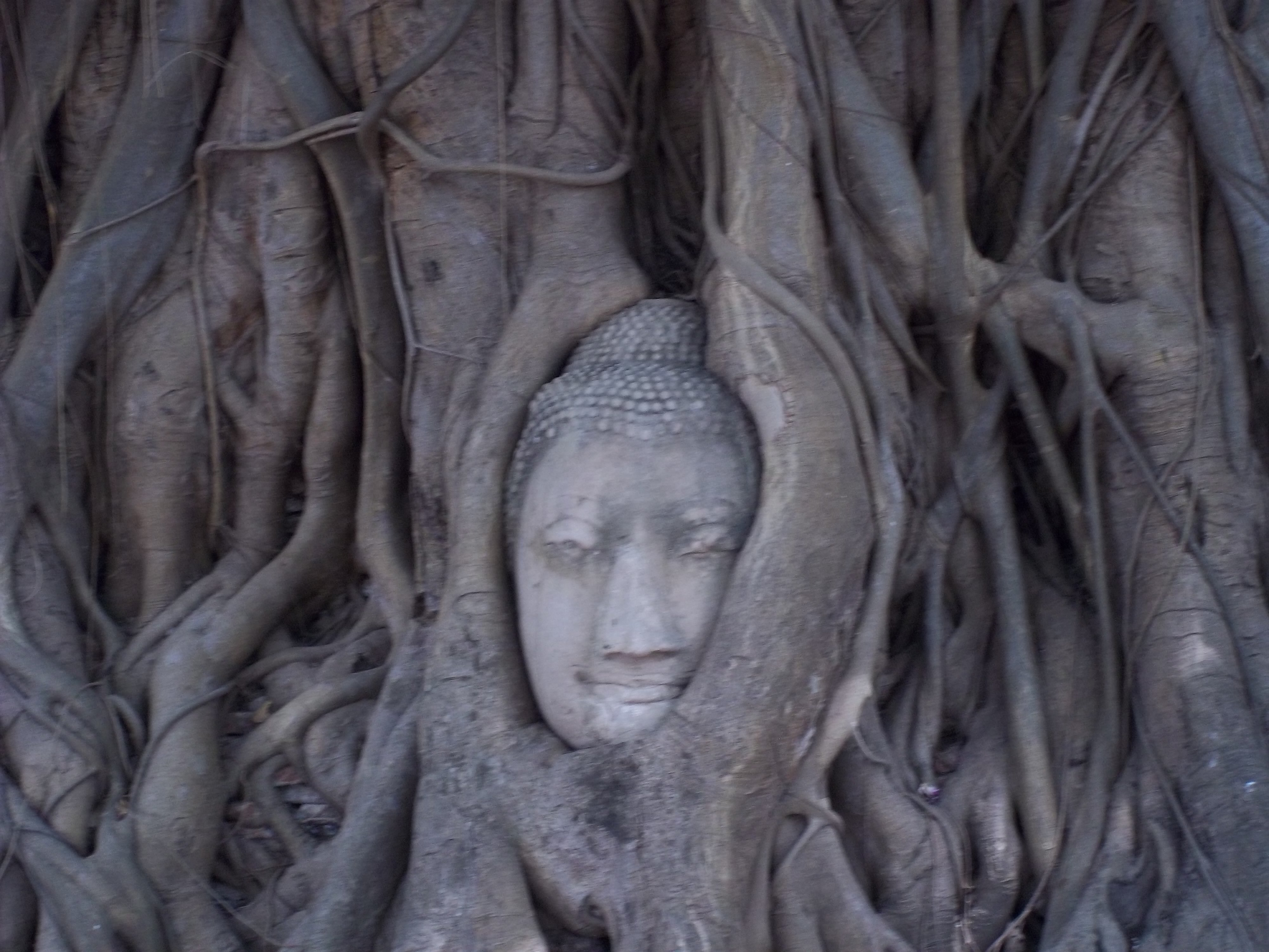 Buddha head in Bodhi tree in Ayutthaya